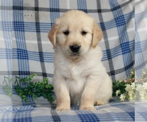 Golden Retriever Puppy for sale in GAP, PA, USA