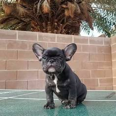 French Bulldog Puppy For Sale in NORTH LAS VEGAS, NV, USA