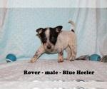 Small #3 Australian Cattle Dog-Rat Terrier Mix