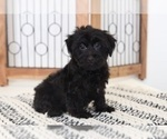 Kyle Cuddly Little Female Yorkiepoo Puppy