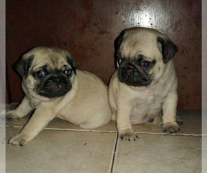 Pug Puppy for Sale in AUSTIN, Texas USA