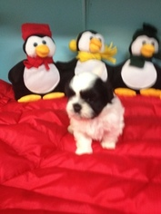 Shih Tzu Puppy For Sale in MURPHY, NC, USA