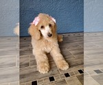 Small #15 Poodle (Standard)