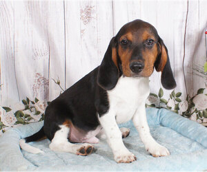 Beagle Puppy for sale in PENNS CREEK, PA, USA
