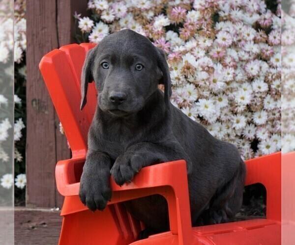 Medium Photo #4 Labrador Retriever Puppy For Sale in FREDERICKSBG, OH, USA