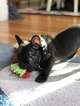 French Bulldog Puppy For Sale in WINTHROP, MA, USA