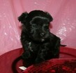 Havanese Puppy For Sale in CLINTON, AR, USA