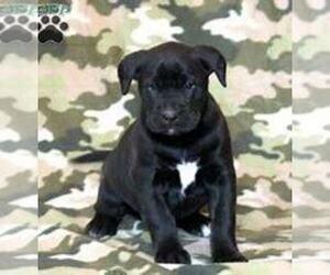 Boxador Puppy for sale in ADRIAN, MI, USA