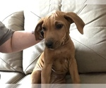 Rhodesian Ridgeback Puppy For Sale in PLAINFIELD, CT, USA