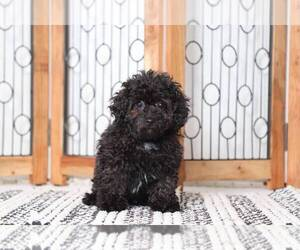 Poodle (Miniature) Dog for Adoption in NAPLES, Florida USA