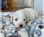 Puppy 3 ShihPoo