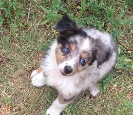 Australian Shepherd Puppy for sale in GOODWELL, OK, USA
