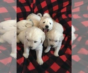 English Cream Golden Retriever Puppy for Sale in SPARTA, Wisconsin USA
