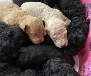Goldendoodle Puppy for sale in MANNFORD, OK, USA