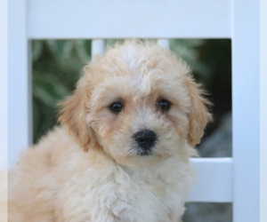 Poochon Puppy for sale in MORGANTOWN, PA, USA