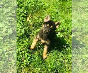 German Shepherd Dog-Siberian Husky Mix Puppy for Sale in MOSINEE, Wisconsin USA