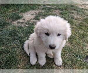 Akbash Dog-Great Pyrenees Mix Puppy for sale in HARRISON, ID, USA