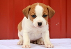 Jack-A-Bee Puppy For Sale in MOUNT JOY, PA, USA