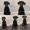 Doberman Pinscher Puppy For Sale in PALMDALE, CA, USA