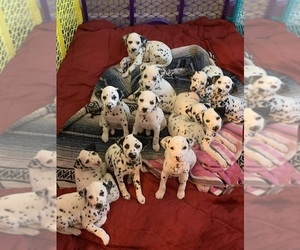 Dalmatian Puppy for sale in JACKSONVILLE, FL, USA