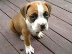 Boxer Puppy For Sale in MARSHFIELD, MO,