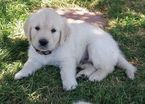 Golden Retriever Puppy For Sale in PALMDALE, CA,