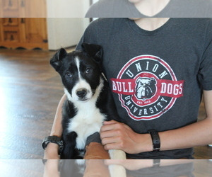 Border Collie Puppy for sale in BROWNSVILLE, TN, USA