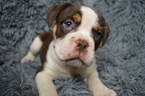 Olde English Bulldogge Puppy For Sale in BATH, PA, USA