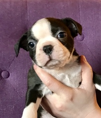 Boston Terrier Puppy For Sale in PUYALLUP, WA, USA