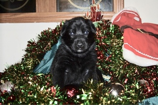German Shepherd Dog Puppy For Sale in CLAREMONT, NC, USA