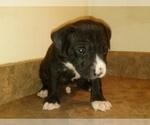 Small #8 America Bandogge Mastiff