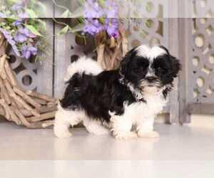 Mal-Shi Dog for Adoption in MOUNT VERNON, Ohio USA