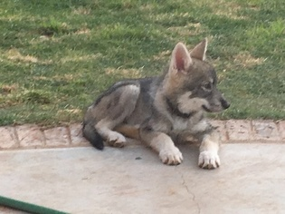View Ad: Wolf Hybrid Puppy for Sale near Texas, ANDREWS, USA  ADN-34726