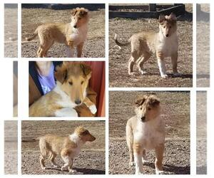 Collie Puppy for Sale in FULLERTON, Nebraska USA