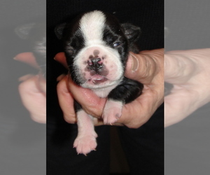 Boston Terrier Puppy for sale in WILSONVILLE, OR, USA