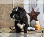 Small #7 Bernedoodle