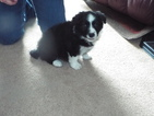 Border Collie Puppy For Sale in HUDSONVILLE, Michigan,