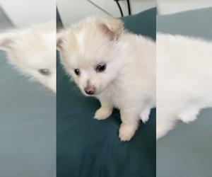 Pomeranian Puppy for sale in LOS GATOS, CA, USA