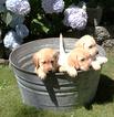 Labrador Retriever Puppy For Sale in ELMA, WA, USA