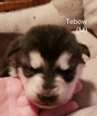 Puppy 4 Alaskan Malamute