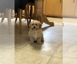 Maltipoo-Poodle (Standard) Mix Puppy for Sale in W CHESTER, Pennsylvania USA