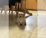 Maltipoo-Poodle (Standard) Mix Puppy For Sale in W CHESTER, PA, USA