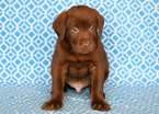 Labrador Retriever Puppy For Sale in MOUNT JOY, PA, USA