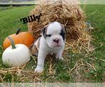 Puppy 2 Bulldog-Bulloxer Mix