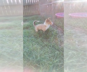 Shetland Sheepdog Puppy for Sale in FAIRVIEW, Tennessee USA