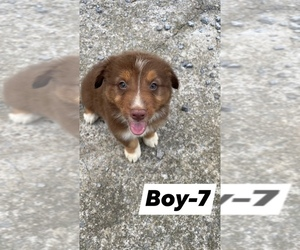 Australian Shepherd Puppy for sale in FLEMINGSBURG, KY, USA