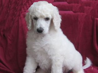 Poodle (Standard) Puppy for sale in CHICO, CA, USA