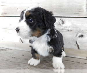 Miniature Bernedoodle Puppy for Sale in MILLERSBURG, Ohio USA