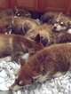 Red Alaskan Malamute pups
