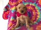 Golden Retriever Puppy For Sale in PEACH BOTTOM, PA, USA